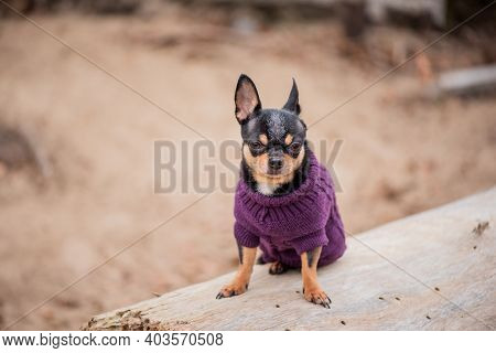 Pet Dog Chihuahua Walks On The Street. Chihuahua Dog For A Walk. Chihuahua Black, Brown And White.