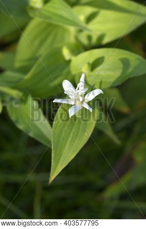 Hairy Toad Lily Flower - Latin Name - Tricyrtis Hirta
