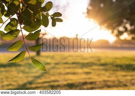 Close-up Of Carob Tree (ceratonia Siliqua) In A Field On The Island Of Mallorca At Sunrise. Unfocuse