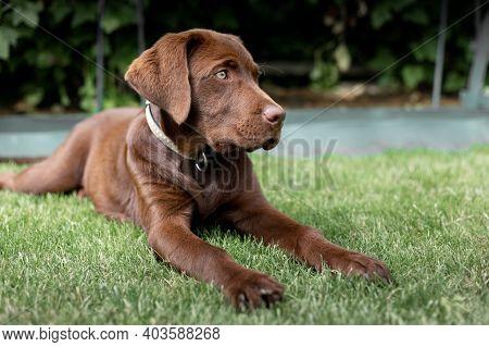 Brown Labrado On The Lawn. A Rare Labrador.