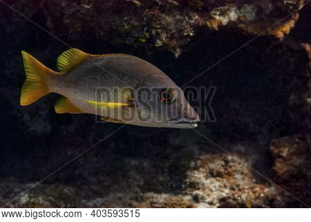 Schoolmaster Snapper Swimming In The Waters Of The Little Cayman