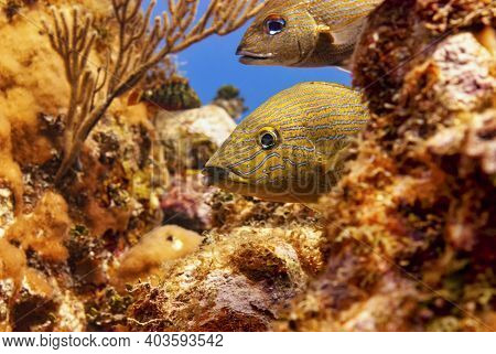 Pair Of Bluestriped Grunts Hiding In The Coral.