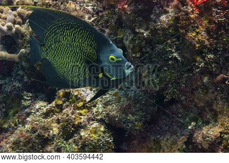 French Angelfish Swimming In The Caribbean Sea
