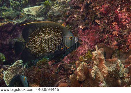 French Angelfish Feeding In The Caribbean Sea