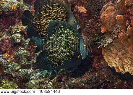 A Pair Of French Angelfish