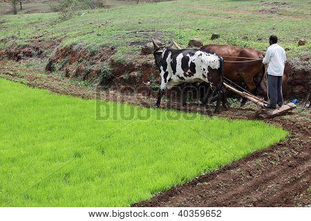 Farmer plowing fields with Bull Ox