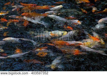 Koi Carp Fish Swimming In Pond. Chinese Brocaded Carp.