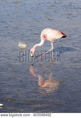 View Of Andean Flamingo Birds