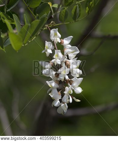 Robinia Pseudoacacia Known As Black Locust Flowers Detail, Italy