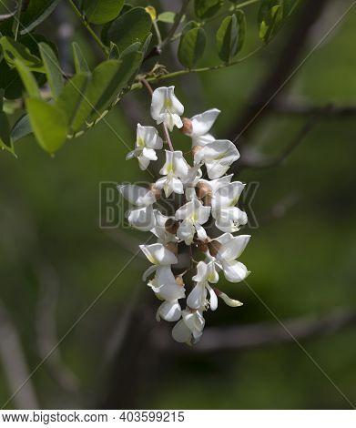 Robinia Pseudoacacia Known As Black Locust Flowers Detail, Italy