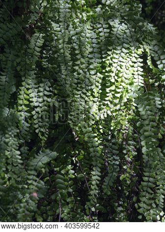 Background Picture Of Spleenwort Plant In North Of Italy