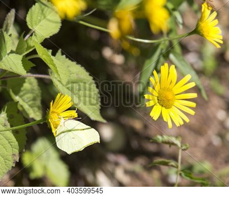 A Common Brimstone Butterfly On Yellow Flower In Italy