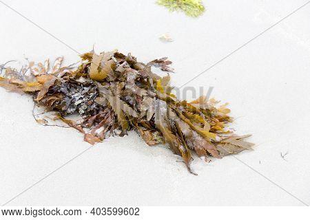 View Of Fucus Serratus, Brown Algae On The Beach