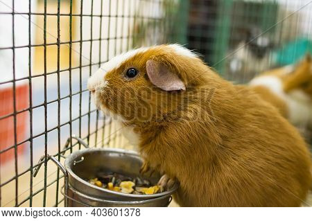Red Guinea Pig In A Cage Close Up