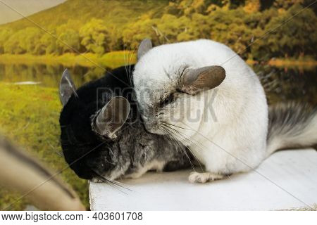 Black And White Chinchillas In A Cage Close Up