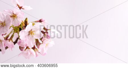 Cherry blossom in full bloom, isolated, up close with slight pink background.Wide header image dimension. Yoshino cherry.