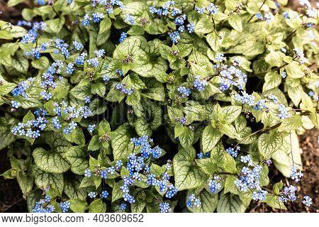 Little Blue Flowers In The Garden. Beautiful Forgetmenot Flowers.