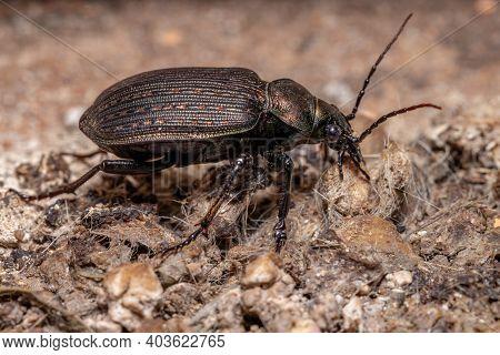 Adult Caterpillar Hunter Beetle