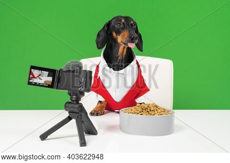 Famous Dachshund Blogger Dog In Red Jacket Sits At Table In Front Of Professional Camera With Microp
