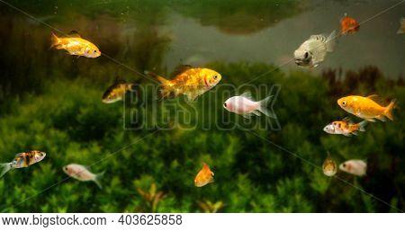 Gold Fishes Swimming In Fresh Water Aquarium Tank