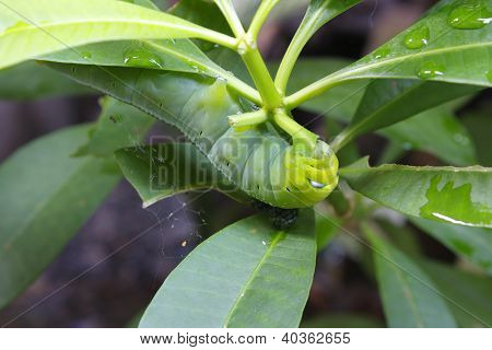 Caterpillar Oleander Hawk-moth