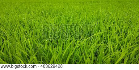 Green Grass Background Of Rice Field. New Born Rice Plants, Nice Green Background Of Rice Plants.