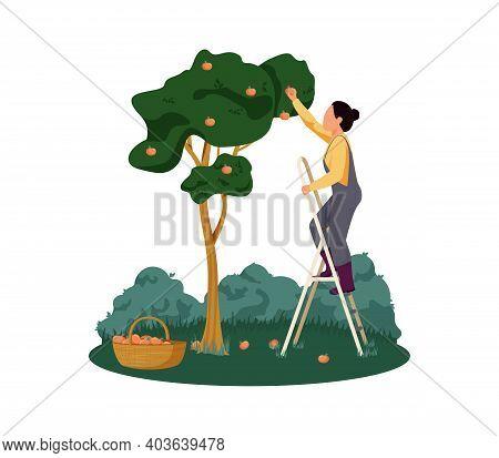 Organic Farm With Woman Gathering Apples Flat Vector Illustration