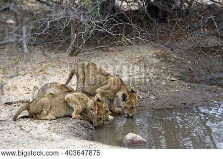 Three Lion Cubs, Drinking From A Pool. Kruger Park, South Africa