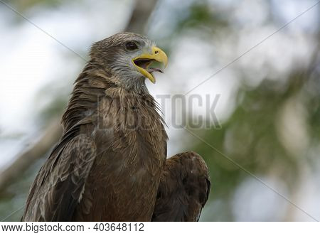 Yellow-billed Kite (milvus Migrans) With Open Mouth. Kruger Park, South Africa
