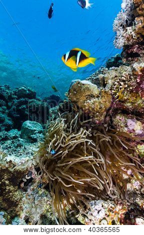 A single clownfish around an anemone in shallow water on a coral reef poster