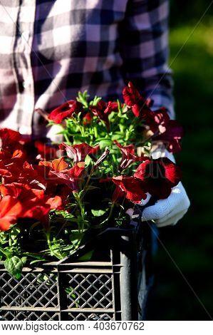 Florist Hold Box Full Of Petunia Flowers.