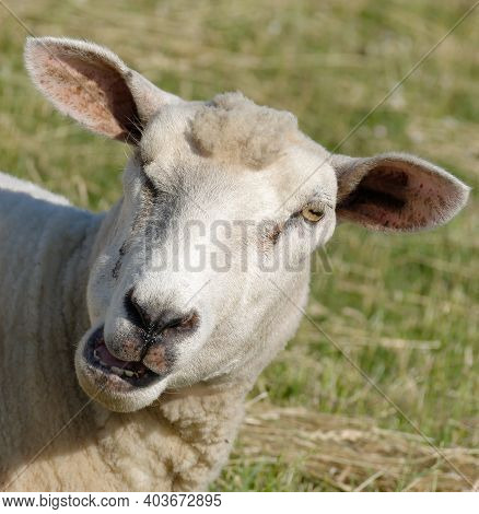 Sheep On Dyke On Eiderstedt Peninsula,north Frisia,north Sea,germany