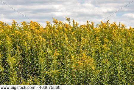 On The Edge Of Yellow Flowering Goldenrod Plants In A Dutch Nature Reserve. It Is A Sunny Day In The