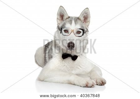 Siberian Husky dog posing in bow tie and glasses on a white background poster