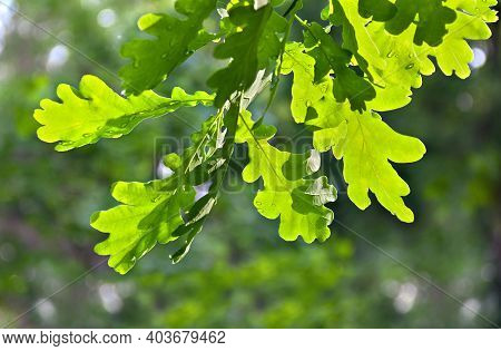 Branch Of Oak (quercus Robur. Commonly Known: English Oak, Pedunculate Oak Or French Oak) During Rai
