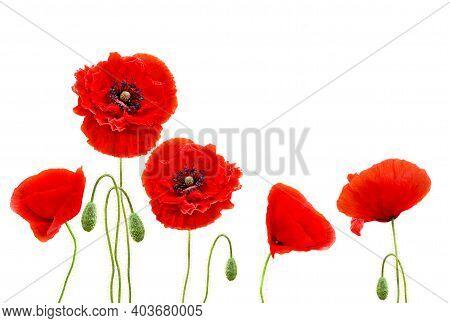 Red Poppies (common Names: Common Poppy, Corn Poppy, Corn Rose, Field Poppy, Flanders Poppy, Red Pop