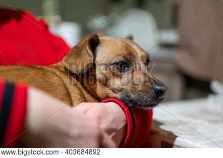 The Old Dog Is Resting In The Arms Of The Owner. Girl With A Dog In The Room.