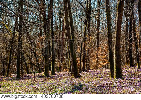 Forest Glade Blossom In Crocus. Beautiful Nature Scenery In Springtime. Leafless Trees On A Sunny Da