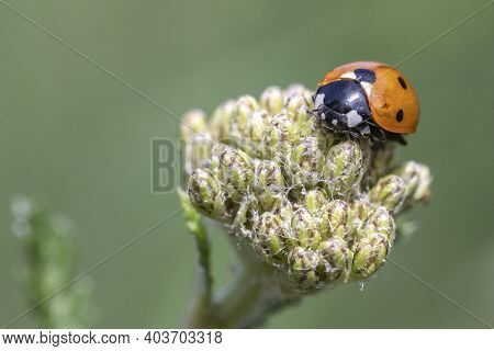 Close-up Image Of A Coccinella 7-punctata (seven-spot Ladybird) On Achillea