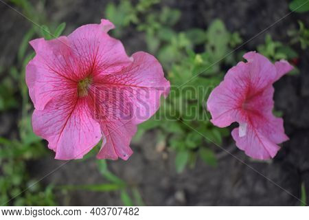 Pink Petunia Flowers, Close Up. Petunias Are One Of The Most Popular Flowers Because Of Their Long F