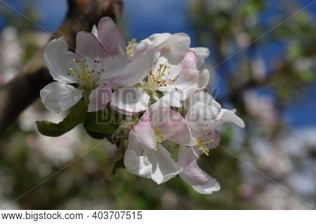 Apple Tree Blossom. Blossom Apple Over Nature Background, Spring Flowers In A Beautiful Garden. Clos