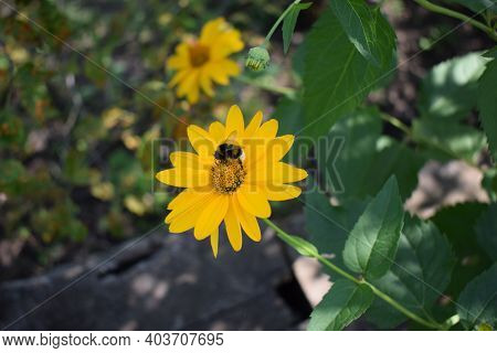 Bumble Bee Pollinating A Bright Yellow Heliopsis Helianthoides Cultivar (rough Oxeye, Smooth Oxeye O