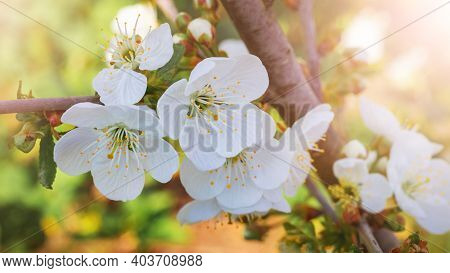 Cherry Blossoms, Cherry Blossoms In The Garden On A Golden Sunny Background