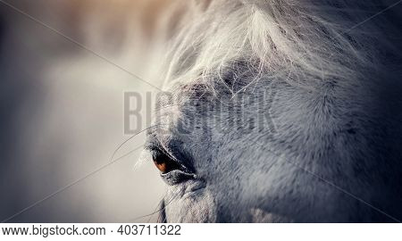 Gray Horse's Eye Close-up. Portrait Of A Gray Sports Stallion In A Halter. Sporty Young Horse Gray C