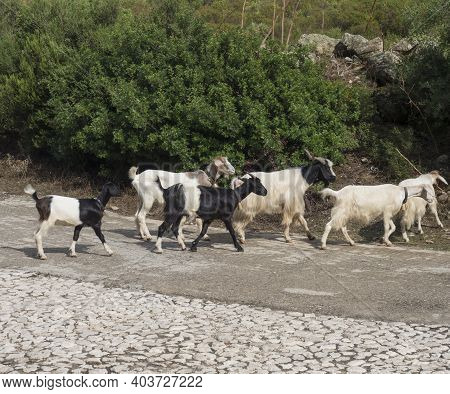 Close Up Herd Of Goats Walking In The Middle Of The Asphalt Road In Supramonte Mountains. Sardinia,
