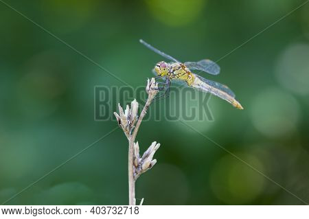 Large Dragonfly On A Dry Plant. Beautiful Insect Sits On A Branch On A Green Blurred Background. Bea