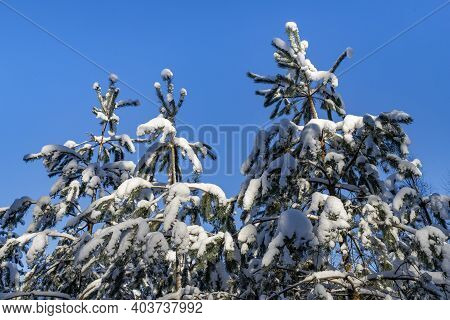 Snow-covered Small Conifers. Snow On Tree Branches In Central Europe.