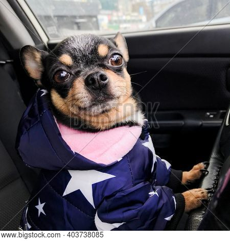 Dog Driving A Steering Wheel In A Car. Dog In A Car Driving. Chihuahua Dog