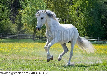 A White Horse Has Fun Running And Bouncing In A Paddock On A Sunny Day