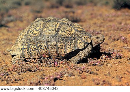 A leopard tortoise (Stigmochelys pardalis) in natural habitat, South Africa